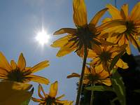 Black Eyed Susans, With Flare