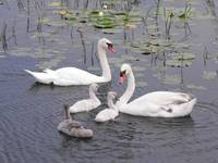 Mute Swan Family in Water