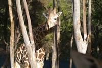 Giraffe at the Guadalajara Zoo