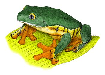 Spendid Leaf Frog by artist Roger Hall. Giclee prints, art prints, animal art, frog art, Agalychnis calcarifer; from an original pen and ink drawing