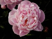 Light Pinkish Peonies