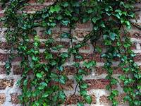 Brick and Ivy...