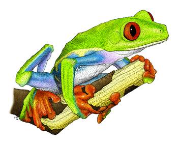 Red-Eyed Tree Frog by artist Roger Hall. Giclee prints, art prints, animal art, frog art, Agalychnis Callidryas; from an original pen and ink drawing