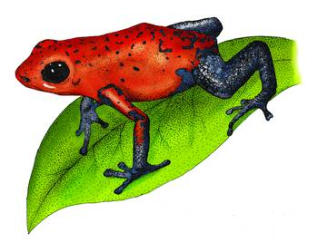 Strawberry Poison Dart Frog by artist Roger Hall. Giclee prints, art prints, animal art, frog art, Poison Arrow Frog (Dendrobates Pumilio); from an original pen and ink drawing