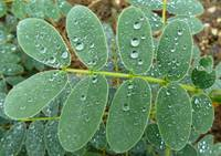 After the rain - droplets on leaves