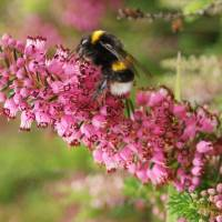 WHITE TAILED BEE ON A PINK HEATHER Art Prints & Posters by Shelly-Jane Osborne