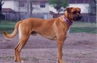Ren (mixed breed boxer)
