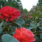 Red Roses Prints & Posters