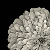 Black and white zinnia