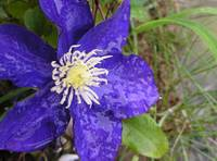 Pond-side Solitary CLEMATIS bloom