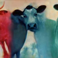 """""""Tricolor Cows"""" by MichaelGodey"""