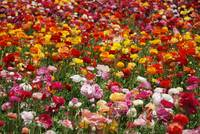 Multicolor explosion of Ranunculus