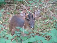 A friendly Muntjac deer