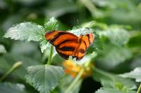 Orange Tiger Butterfly