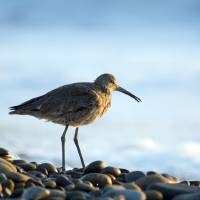 Sandpiper by Eileen Ringwald