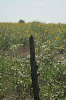 barbed sunflowers
