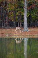Whitetail-Doe-Reflection