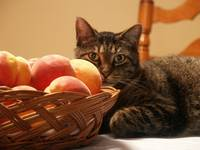 Tabby Cat and Peach Basket