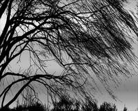 Weeping Willow Tree Blowing in the Wind