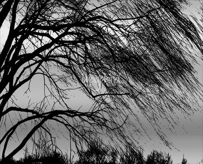 Weeping Willow Tree Blowing In The Wind By Carol F Austin