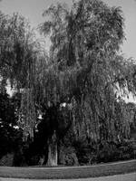 Weeping Willow Tree Zen Garden