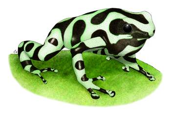 Green & Black Poison Dart Frog by artist Roger Hall. Giclee prints, art prints, animal art, frog art, Poison Arrow Frog (Dendrobates auratus); from an original pen and ink drawing
