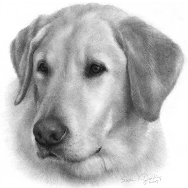 """Stunning """"Labrador"""" Pencil Drawings And Illustrations For ..."""