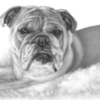 Allie, English Bulldog Art Prints & Posters by Susan Donley