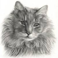 TeeGee - Long-Haired Gray Cat