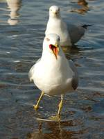 singing seagull