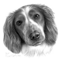 Britt, Welsh Springer Spaniel