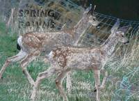SPRING FAWNS