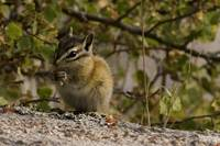 Ground Squirrel-3001