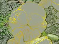 Yellow Pansy 025-1 colored pencil