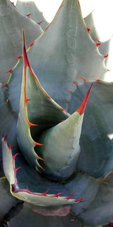 Agave Cactus (long view)