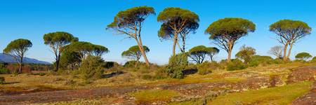 Parasol pines in Provence - Panoramic landscape