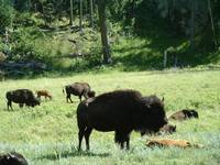 Herd of Bison