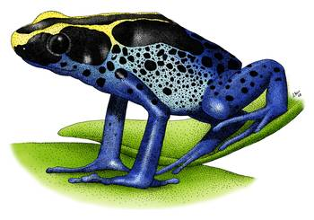 Dyeing Poison Dart Frog by artist Roger Hall. Giclee prints, art prints, animal art, frog art, Poison Arrow Frog (Dendrobates tinctorius); from an original pen and ink drawing