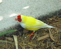 Yellow Lady Gouldian Finch