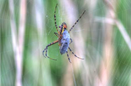 Garden Spider (IMG_6084-HDR)