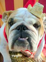 Norma the English Bulldog is Ready for the State F