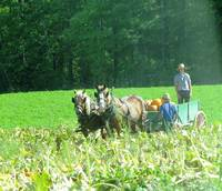 Amish Pumpkin Harvest
