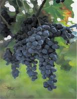 Copy of Great_Grapes_W_Sig