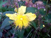 Yellow spindle flower