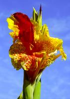 Yellow Canna Lily and sky