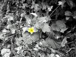 Yello flower bw