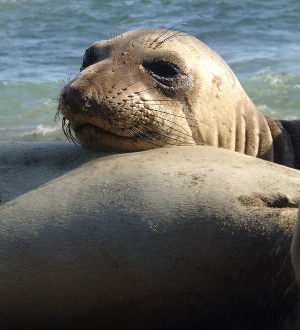 Elephant Seal rest