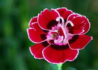 Small carnation