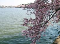 Cherry Blossom Peak Bloom Washington DC no-1
