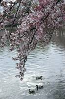 Cherry Blossom Peak Bloom Washington DC no-4